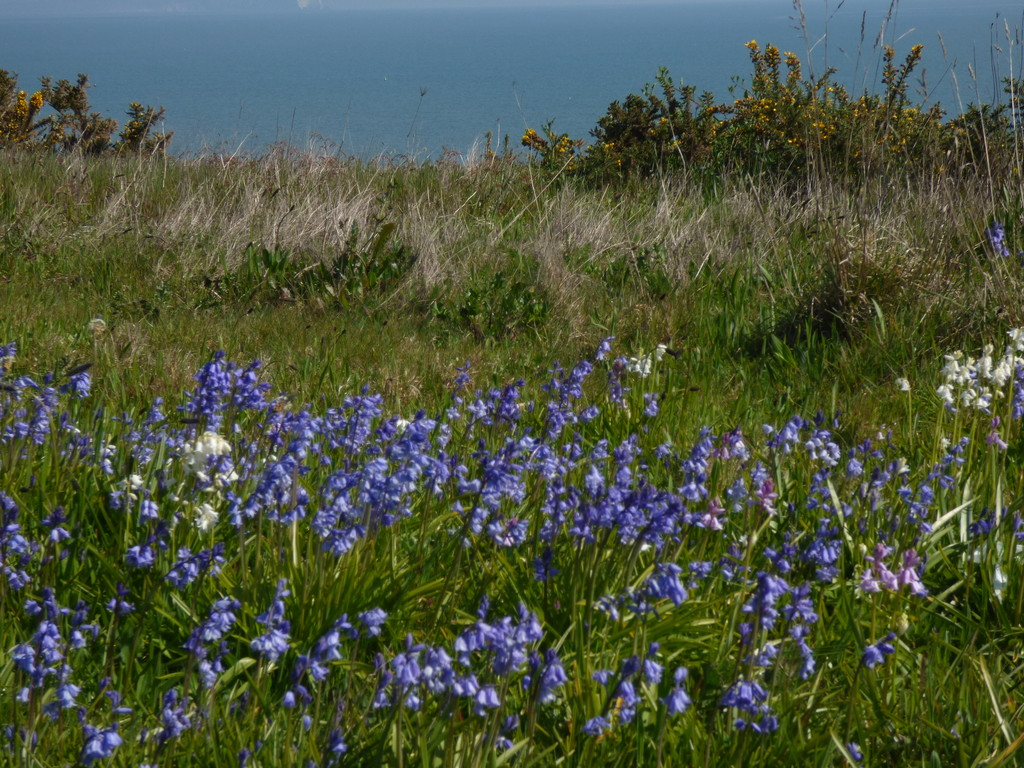 Bluebells on the East Cliff